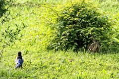 Liten kanin som hidding i busken som bevakas av skatan arkivbild