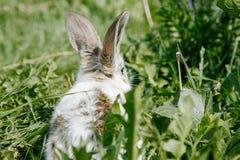 Liten kanin, svartvit dräkt, äta för kanin gröna gras arkivfoton