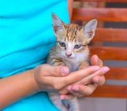 Liten katt i händer för kvinna` s Ung pott med röd päls och blåa ögon Att bry sig händer som rymmer den gulliga kattungen Royaltyfri Fotografi