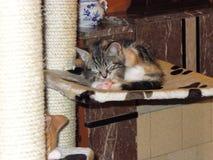 Liten katt Nanou på katten som skrapar stolpen Royaltyfri Foto