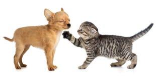 Liten katt och hund som tillsammans spelar Arkivbild