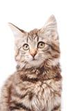 Liten kattunge Royaltyfria Foton