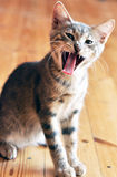 Liten kattunge Royaltyfria Bilder