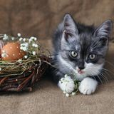 Liten kattunge för gulliga grå färger bredvid påskäggen den naturliga röda färgen med det grafiska trycket av vit målarfärg i ett royaltyfria foton