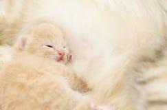 Liten kattunge, når att ha ätit Royaltyfri Fotografi