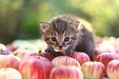 Liten kattunge på höstäpplebakgrunden Royaltyfri Foto