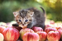 Liten kattunge på höstäpplebakgrunden Royaltyfri Bild