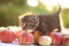 Liten kattunge på höstäpplebakgrunden Arkivbild