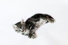 Liten kattunge på vit bakgrund Arkivbild