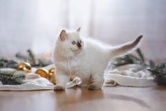 Liten kattunge Ragdoll för blå punkt på en kulör bakgrundsstudio Arkivfoton