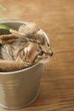 Liten kattunge som är sömnig i hinken Royaltyfri Bild