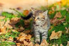 Liten kattunge som går på gräset Fotografering för Bildbyråer