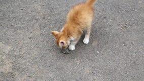 Liten kattunge som spelar med stenen stock video