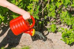 Liten kid& x27; s-handen som rymmer en röd plast- kan och bevattnar torr sommarjord med buskar och gräsmatta i en trädgård Royaltyfria Bilder
