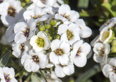 Liten klunga av vita mycket små blommor på en liten grön buske Royaltyfri Foto