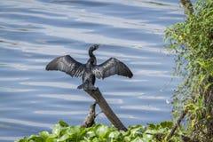 Liten kormoran i den Thabbowa fristaden i Puttalam, Sri Lanka Arkivbild