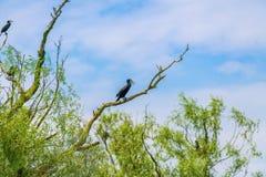 Liten kormoran i trädet Arkivfoton