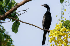 Liten kormoran som ser till det vänstert Royaltyfri Bild