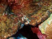 liten krabba Royaltyfria Bilder