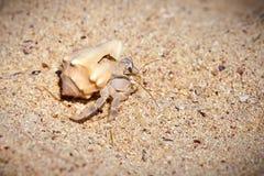 Liten krabba för närbild i skalet arkivfoto