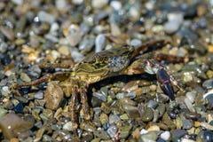 Liten krabba med en jordluckrare Fotografering för Bildbyråer