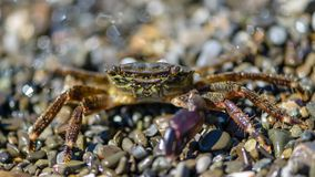 Liten krabba med en jordluckrare Arkivbild