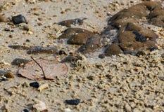 Liten krabba och stort blad på sanden av den Kata Phuket stranden, Thailand royaltyfri bild
