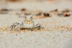 Liten krabba på strandsandslut upp royaltyfri foto