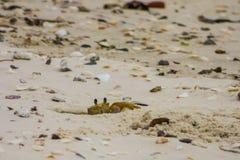 Liten krabba som försöker att kamouflera Arkivfoto