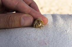 liten krabbaensling Royaltyfria Bilder