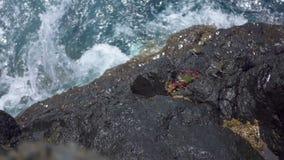 Liten krabbakrypning på kusten stock video