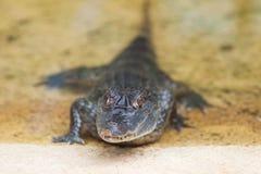 liten krokodil Royaltyfria Foton