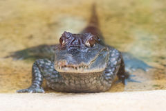 liten krokodil Royaltyfria Bilder