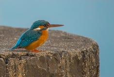 Liten kungsfiskare Fotografering för Bildbyråer