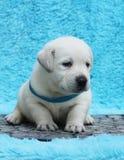 Liten labrador valp på en blå bakgrund Royaltyfri Foto