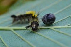 Liten larv Fotografering för Bildbyråer