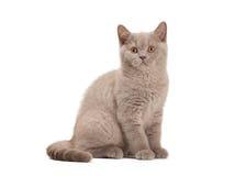 Liten lila brittisk kattunge på vit Arkivbild
