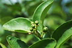 Liten limefrukt 5 överst av frunch royaltyfria bilder