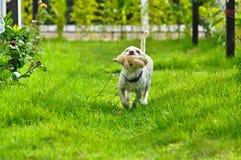 Liten liten gullig hund Arkivbild