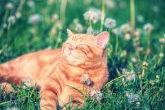 Liten ljust rödbrun kattunge som ligger på maskrosfältet arkivbild