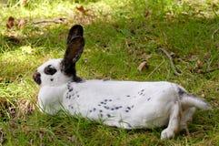 Liten Lotharinger kanin Fotografering för Bildbyråer