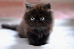 Liten m?rk brun persisk kattunge royaltyfria bilder