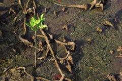 liten mangrove royaltyfri bild