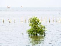 Liten mangrove på kusten Arkivfoton