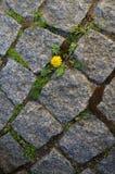 Liten maskros som växer mellan stenar royaltyfri fotografi