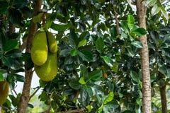 Liten medel för Jackfruit och stort Arkivfoto