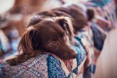 Liten melankolisk röd hund som väntar ägaren royaltyfri fotografi
