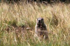 Liten murmeldjur Fotografering för Bildbyråer