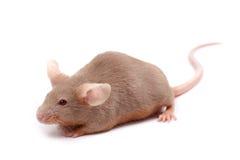 liten mus Fotografering för Bildbyråer