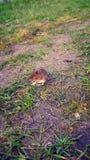 liten mus Royaltyfri Foto